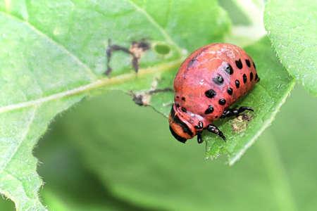 Ckoseup of a Potatoe Beetle Larave on a green background