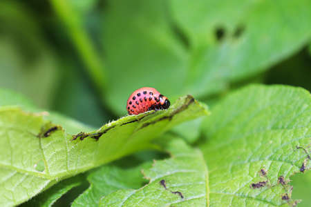 A Potato Beetle larva feeding on a plant leaf