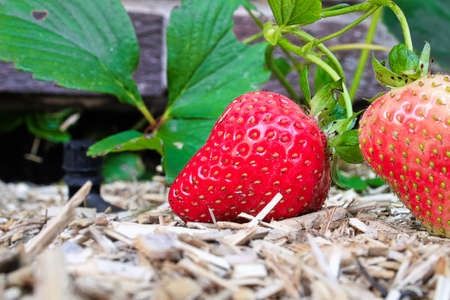 Closeup of two strawberries on hemp muclh Stok Fotoğraf - 133836204