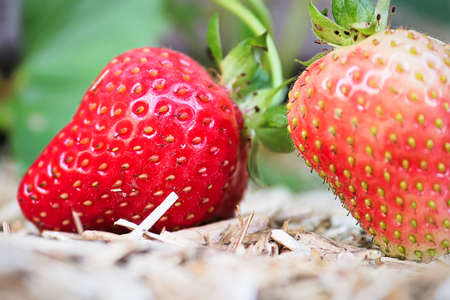 The fine details of a stawberries on yellow mulch Stok Fotoğraf - 133836206