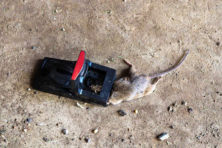A trap with a dead mouse in it