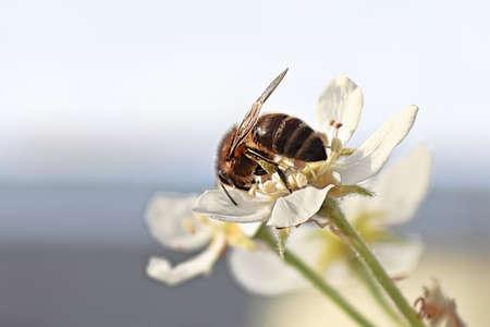 Closeup of a honeybee on an pear blossom