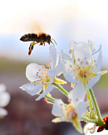 Side silhouette of a bee flying to a pear blossom