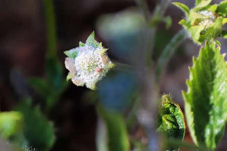 Powdery Mildew fungus covering a strawberry flower