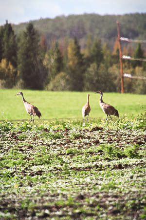 Sandhill cranes walking in a cultivated field