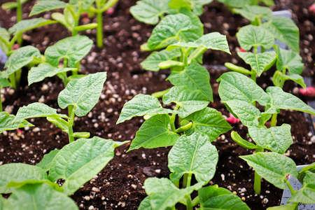 Rows of young bean plants growing in soil Banco de Imagens