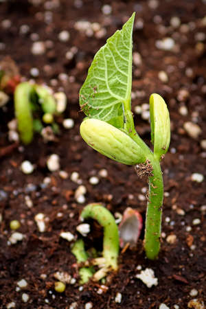 Young roma beans sprouting in growing trays Stok Fotoğraf - 133836385