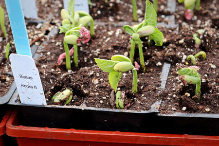 Young roma beans sprouting in growing trays Stok Fotoğraf - 133836389