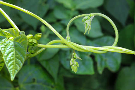 Closeup of a bean vine twisting and curling Banco de Imagens - 133836516
