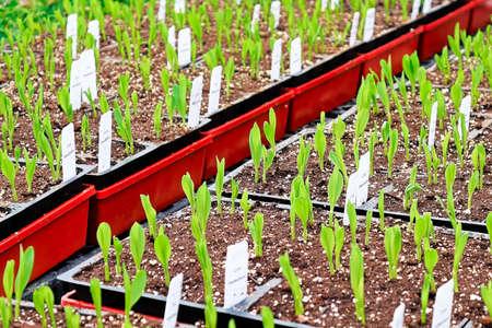 Young corn seedlings growing in garden trays