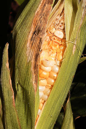 Closeup of a corn ear eaten and damaged by insects