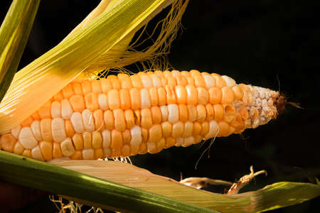 A semi opened ear of corn isolated on a black background