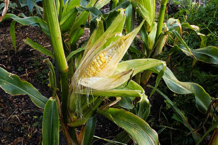A semi opened corn attached to the plant stalk