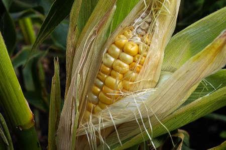 Closeup of an ripe ear of corn still in the husk