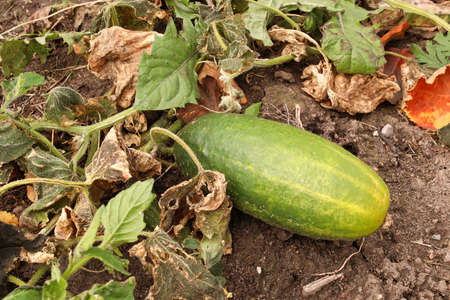 A overripe cucumber growing in the garden between wilted leaves Banco de Imagens - 133836575