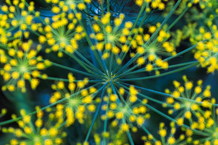 The detailed view of dill head stalks with blured flowers