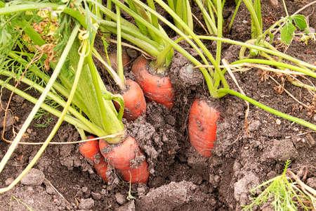 A bunch of carrots in the garden soil
