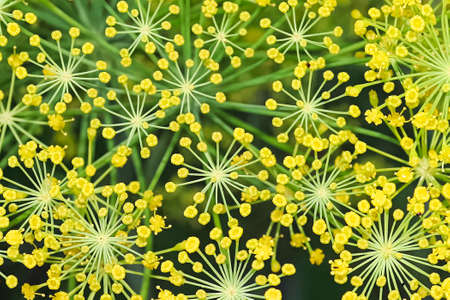 Open dill weed flowers looking like fireworks