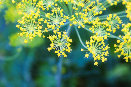 Macro view of dill flowers growing in the garden