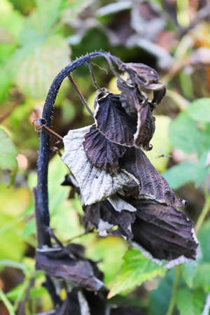 The crooked raspberry cane infected with blight