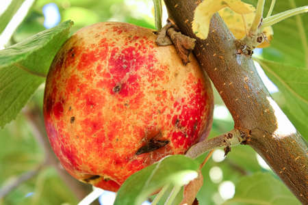 Bruises and cuts over an apple caused by hail Banco de Imagens
