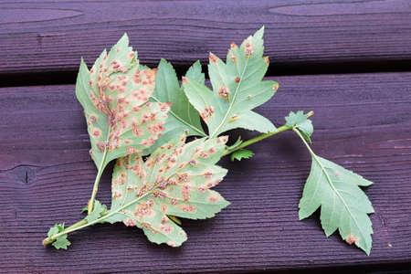 The underside of leaves infected with juniper hawthorn rust Banco de Imagens - 133836654