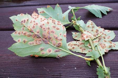 The underside of leaves infected with juniper hawthorn rust Banco de Imagens - 133836655