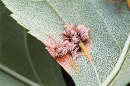 The macro view of erupted cedar hawthorn rust on a leaf Banco de Imagens - 133836721