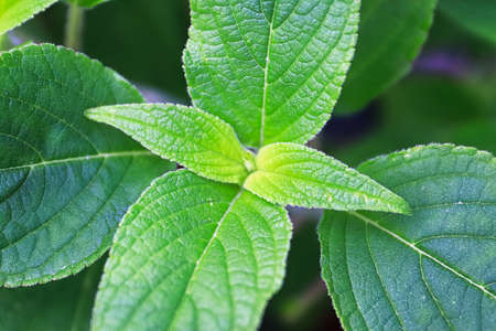 Macro views of the the center of sage leaves growing