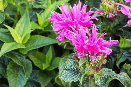 Pink bee balm flower heads blooming in the garden