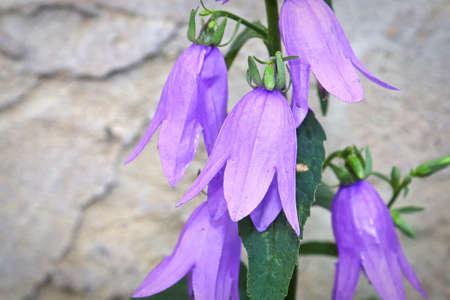 Closeup of the creeping bellflower weed head