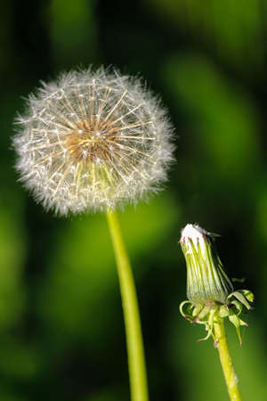 Vertical picture of an open and closed dandelion seed head.