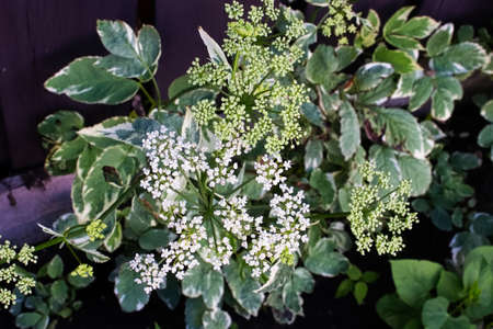The white flower clusters of Bishop's Goutweed. Banco de Imagens