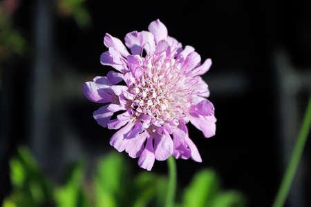 A pincushion flower head against a dark background.