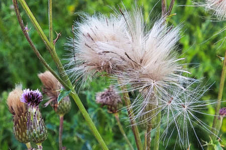 Closeup of thistle flower heads starting to fluff out.