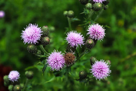 Top view of thistle flower heads in multiple stages. Banco de Imagens