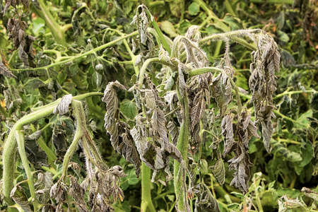 Closeup of damaged tomato plants after a cold night