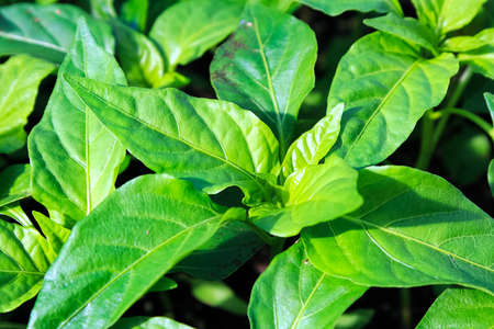 Closeup of young pepper plant leaves growing