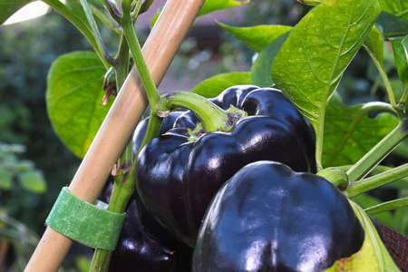 Black sweet peppers hanging on a stem.