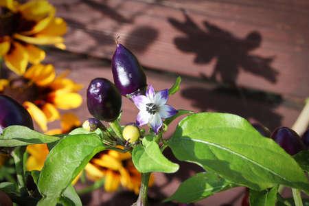 Purple minature peppers beside flowers in sunlight.