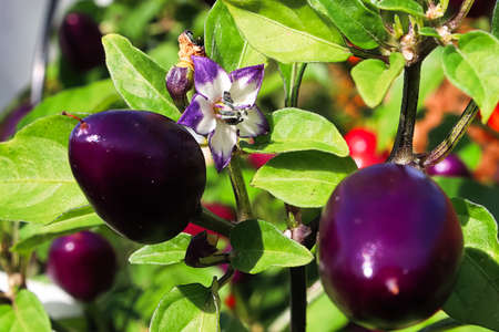 A pepper blossom blooming beside purple fruits.