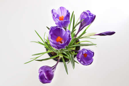 Isolated view of purple crocus flowers looking down.
