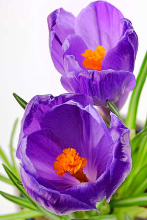 Closeup macro of two purple crocus flowers.
