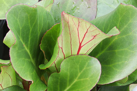 Green and red edges leaves of a Elephant Ear plant Banco de Imagens