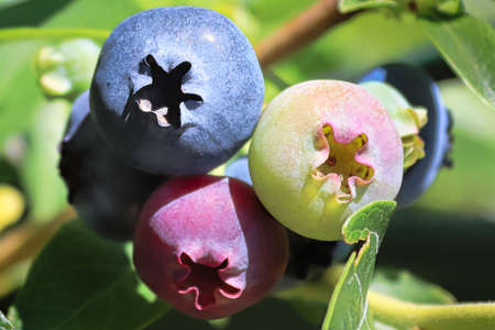 A macro of blueberries in various stages of ripening