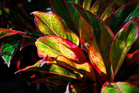 Sunlight shining on a varigated aglaonema houseplant.