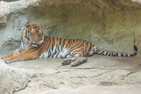 panthera tigris: Bengal tiger sleep in rock