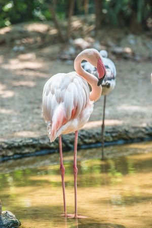 Pink Flamingos bird stand in water photo