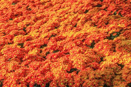 lindi: Beautiful flowers of chrysanthemums Stock Photo