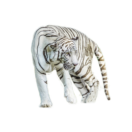 White Tiger looking camera with clipping path on white background photo